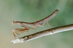 Mantis religiosa - common name praying mantis Stock Photography