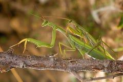 Mantis religiosa de acoplamiento foto de archivo