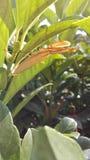 Mantis religiosa de Brown que se sienta en el follaje Fotografía de archivo
