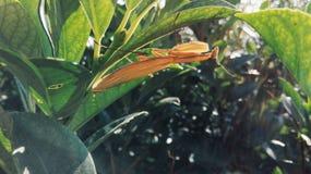 Mantis religiosa de Brown que se sienta en el follaje horizontal Imagenes de archivo