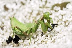 Mantis religiosa eating an insect Royalty Free Stock Images