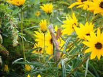 Mantis religiosa embarazada en los girasoles salvajes Foto de archivo libre de regalías