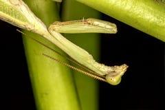 Mantis religiosa en cierre de la hoja encima de la foto - foto macra de la mantis religiosa fotografía de archivo libre de regalías