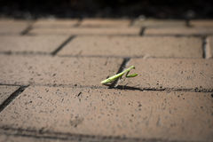 Mantis religiosa en el pavimento del ladrillo Imagen de archivo