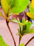 Mantis religiosa en hoja verde Stock Images