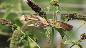 Mantis religiosa en una planta almacen de video