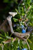 Mantis religiosa entre Rosemary imagen de archivo