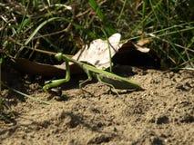 Mantis religiosa European Mantis Stock Image
