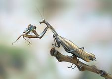 Mantis religiosa (female). On the plant Royalty Free Stock Photography