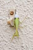 Mantis religiosa femenina que pone los huevos Fotografía de archivo libre de regalías