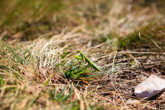 Mantis religiosa on the grass Stock Image