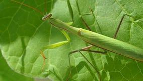 'Mantis' religiosa stock video footage