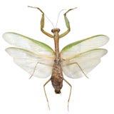 Mantis Religiosa, isolated on white background Royalty Free Stock Images