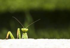 Mantis religiosa looking Stock Photos