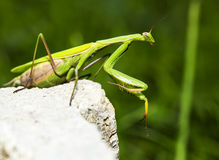 Mantis religiosa looking Royalty Free Stock Photography