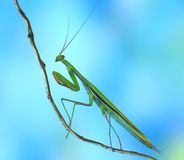Mantis religiosa (male) Stock Photo