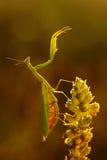 Mantis на цветке, religiosa Mantis, красивом солнце вечера, чехии Стоковые Фотографии RF