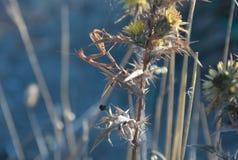 Mantis Religiosa, Mantis Euroean в Kamenjak в Хорватии Стоковое Фото