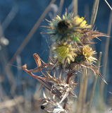 Mantis Religiosa, Mantis Euroean в Kamenjak в Хорватии Стоковые Изображения RF