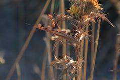 Mantis Religiosa, Mantis Euroean в Kamenjak в Хорватии Стоковая Фотография