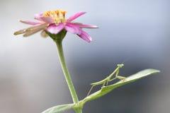 Mantis religiosa, mi PAL que cultiva un huerto imagen de archivo