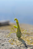 Mantis Religiosa Stock Images