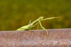El señalar de la mantis religiosa fotos de archivo
