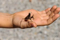 Mantis religiosa on palm. Mantis religiosa on open palm Royalty Free Stock Image