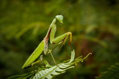 Mantis religiosa praying mantises. Mantises are an order Mantodea of insects that contains over 2,400 species in about 430 genera in 15 families. The largest Stock Photo