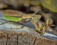 Mantis religiosa que come una abeja Fotos de archivo libres de regalías