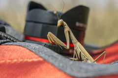 Mantis religiosa Royalty Free Stock Image