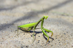 Mantis religiosa Royalty Free Stock Images