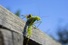 Mantis religiosa Stock Photos