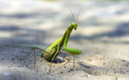 Mantis religiosa Royalty Free Stock Photo
