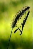mantis religiosa and     shadow Stock Image