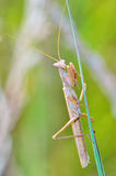 Mantis religiosa Royalty Free Stock Photography