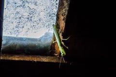 Mantis religiosa urbana Foto de archivo