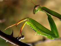 Mantis religiosa3 Stock Photo