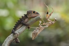 Mantis and reptile Royalty Free Stock Image