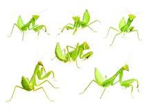 Mantis set Royalty Free Stock Images