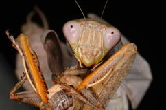 Mantis. Shpodro lineola with cricket Royalty Free Stock Photos
