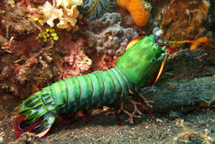Free Mantis Shrimp Royalty Free Stock Photography - 17156227
