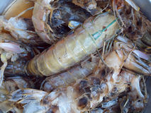 Mantis shrimp Stock Photo