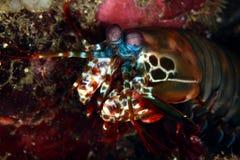 Mantis shrimp. At Anilao, Philippines Stock Photo