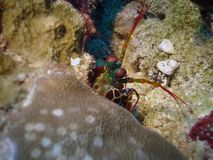 Mantis shrimp. Mantis peacock shrimp Royalty Free Stock Photography