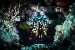 Mantis Shrimp Stock Photography