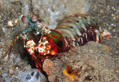 Mantis Shrimp Royalty Free Stock Photo
