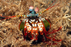 Free Mantis Shrimp Royalty Free Stock Photography - 8184737