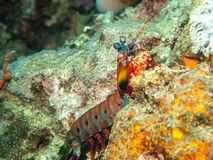 Mantis shrimp on the Coral royalty free stock photography