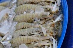 Mantis shrimp (Harpiosquilla raphidea) Stock Image